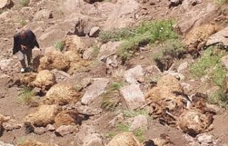 Van'da şok olay! 500 koyun intihar etti!