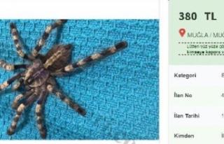 İnternetten tarantula satışı