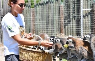 Lemurların enerji kaynağı, organik meyveler