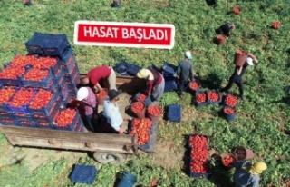 Torbalı'da domates hasadı yine kötü başladı