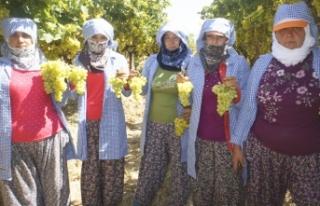 Türkiye'nin yaş üzüm ihracatı yüzde 88...