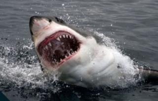 Avustralya'da köpek balığı saldırısı