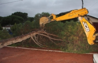 İzmir'de fırtına çam ağacını devirdi