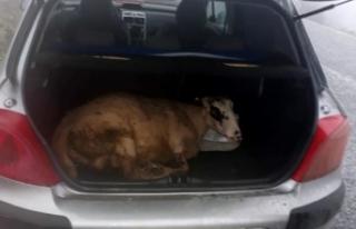 İzmir'de koyunu bayıltıp..