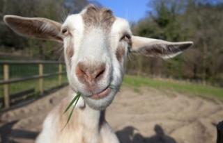 Sahibinin 20 bin Euro'sunu yiyen keçi akşam sofrayı...
