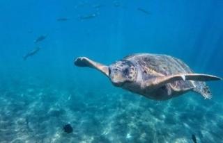 Caretta carettalar, turistlerle yüzdü