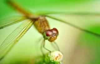 Dişi yusufçuklar erkeklerden kurtulmak için ölü...