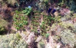 İzmir'de ormanlık alanda zehir yetiştirmişler!