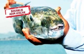 1 kilo balon balığı getirene 5 TL ödenebilir