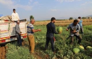 Küçük Menderes'in En Kaliteli Karpuzu Bayındır-Pınarlı'da