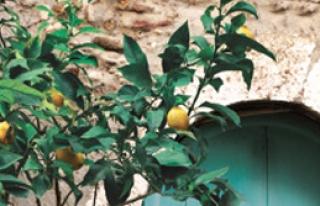 'Limon Kokusu'