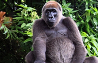 Bu Goril Başka Yerde Yok