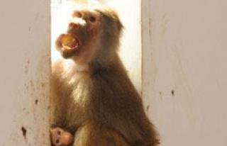 Hayvanat Bahçesinde Babun ve Yavrusu İlgi Çekti