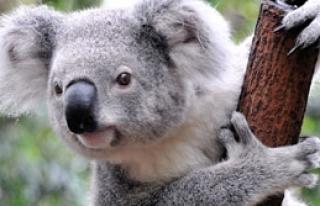 686 Koalayı Öldürdüler!