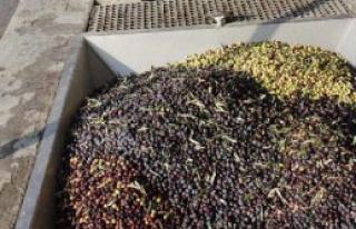 Foça'da Yılın İlk Zeytin Sıkımı Yapıldı