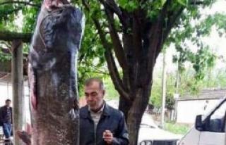 Kelkit Çayı'nda 120 Kiloluk Yayın Yakalandı
