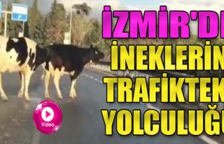İneklerin Trafikteki Yolcuğu Sürücüleri Zorladı