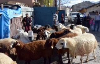 Koyunları Kurtlar Telef Etti