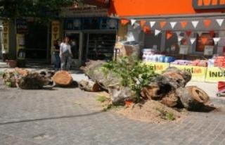 Asırlık Çınar Ağacı Devrildi