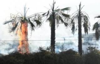Palmiye Ağaçlarını Ateşe Verdiler