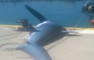 200 Kiloluk Beyaz Köpekbalığı