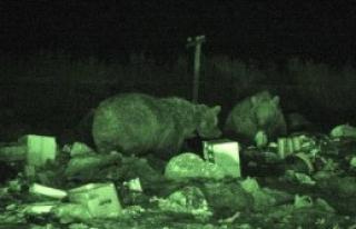 Boz Ayıları Çöplükten Kurtarma Çabası