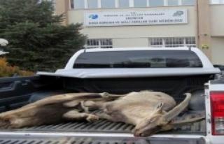 Dağ Keçisi Avcılarına Ceza