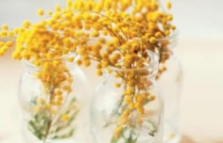 'Hala Sarıysa Mimozalar'