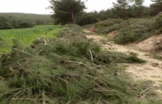 Çam ağaçlarının kesimi durduruldu
