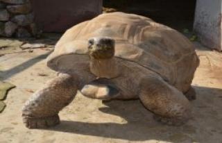 Kaplumbağa 'Tuki' Sonucu Bildi
