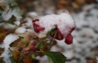 Kar Ve Gül Bir Arada