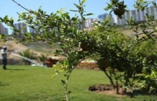 Karşıyaka'nın Parklarına Nar Ağacı Dikildi