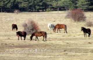 Kocayayla'nın Özgür Sürüleri: Yılkı Atları