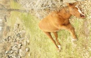 Konya'da Yılkı Atı Katliamı