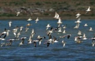 Manyas Kuş Cenneti'ndeki Kuşlar Sayılıyor
