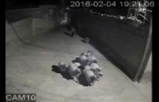 Nizip'te Koyun Çalan Şüpheli Tutuklandı
