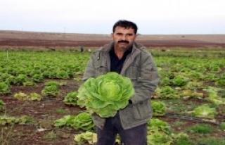 Çiftçinin Marulları Tarlada Kaldı