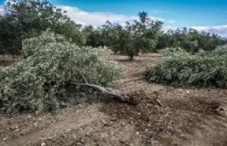 Soma'da Santral İçin Yine Zeytin Ağacı Kıyımı