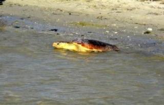2 Caretta Caretta Denize Bırakıldı