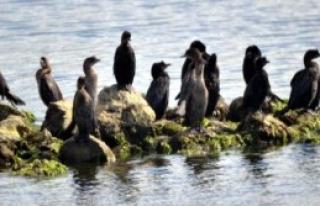 Tuzla Sulak Alanı Kuş Cennetine Döndü