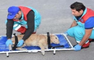Yaralı Hayvanlara Ambulanslı Müdahale