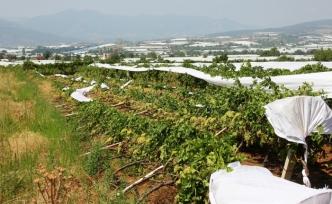 Manisa'daki fırtına ve yağmur, bağ alanlarında hasara neden oldu