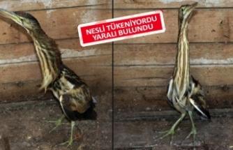 Ödemiş'te nadir görülen kuş bulundu