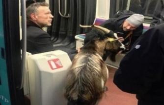 Çaldığı keçiyle metroya kaçtı!