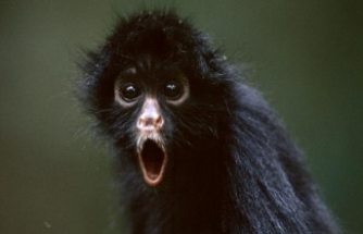 Maymun 12 günlük bebeği öldürdü