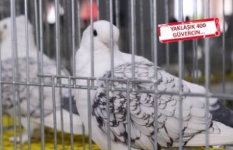 İzmir'de 'güvercin güzellik yarışması'