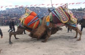 Kınık'ta deve güreşi heyecanı