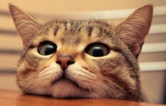 Kediye, sahibinden koronavirüs bulaştı