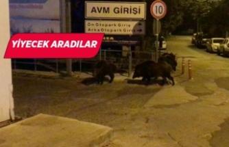 Aç kalan domuzlar AVM'ye girdi!