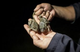 EÜ'lü akademisyenden 'kurbağa avcılığı' uyarısı